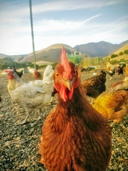 'A GOOD CHICKEN LIFE' Hens at Spumoni Egg Farm in Morro Bay are free to roam in both a protected coop and an enclosed outdoor space. Spumoni won't need to make any changes to comply with Proposition 12. - PHOTO COURTESY OF SPUMONI EGG FARM