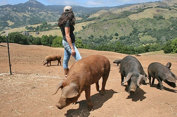 TIGHTER QUARTERS A new animal welfare law could affect the purchase of pork from out-of-state producers   - FILE PHOTO COURTESY OF AMY JOSEPH
