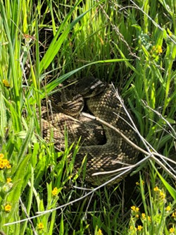 HISS April and May are busy months for Pacific Rattlesnakes like the one pictured. Watch out for them while locked down at home. - PHOTO COURTESY OF CENTRAL COAST SNAKE SERVICES