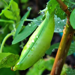 PEA-FECTION Nothing says summer on the Central Coast like sugar snap peas. These are the kinds of natural goodies found in a SLO Veg summertime harvest box. - PHOTOS COURTESY OF SLO VEG