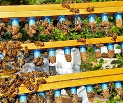 TEAMWORK Working together, the Rose family bees buzz in unison to create some of the area's favorite, pure, natural honey. - PHOTO COURTESY OF CBC
