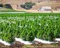 Uneven harvest: Few growers survived SLO County's hemp moratorium this year