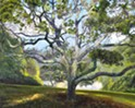 Adam Wolpert's SLOMA exhibit captures the iconic California oak with exceptional detail