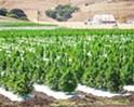 Judge upholds SLO County hemp ordinance for now