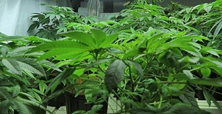 County greenlights Edna Valley cannabis greenhouse near school