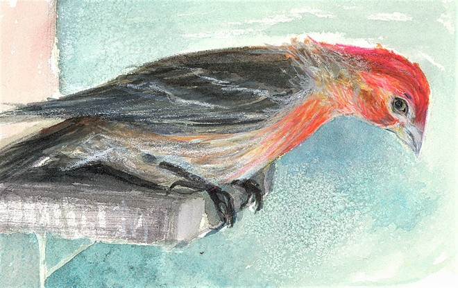 House Finch by Virginia Mack