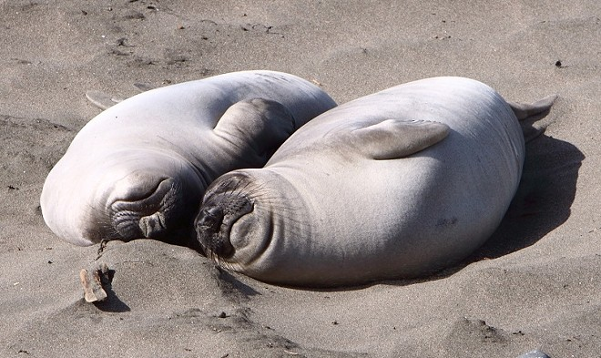 event_-_aug_elephant_seals.jpg