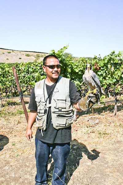 VINEYARD PATROL:  Dexter the hawk patrols the vines at Laetitia Vineyard and Winery in Arroyo Grande during the harvest season, which is just beginning at the scenic locale. Juicy grapes attract all sorts of pests, but they are no match for this winged watcher. - PHOTO BY HAYLEY THOMAS