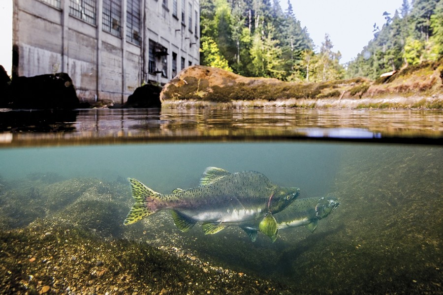 FISH OUT OF WATER:  Washington state's Elwha Dam, now removed, blocks a pair of spawning salmon from continuing upstream. - PHOTO BY MATT STOECKER