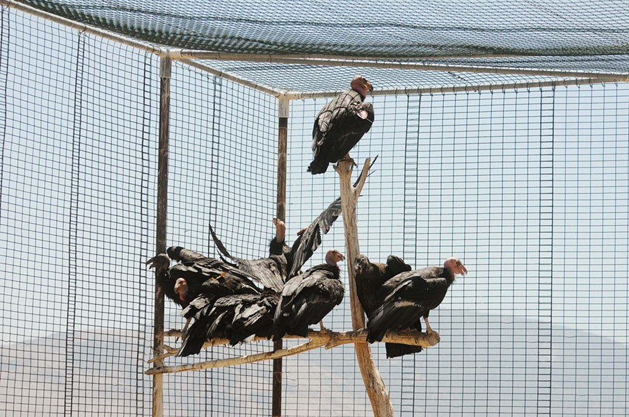 FEATHERED FRIENDS :  Condors are captured for semiannual checkups, then released. - PHOTO BY PAUL WELLMAN