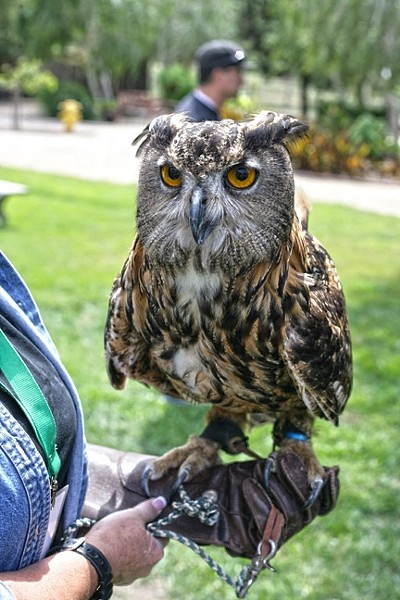 WHO? WHO? :  Zophia is an Eagle Owl whose eyes don't move, though her head rotates 270 degrees. - PHOTO BY GLEN STARKEY