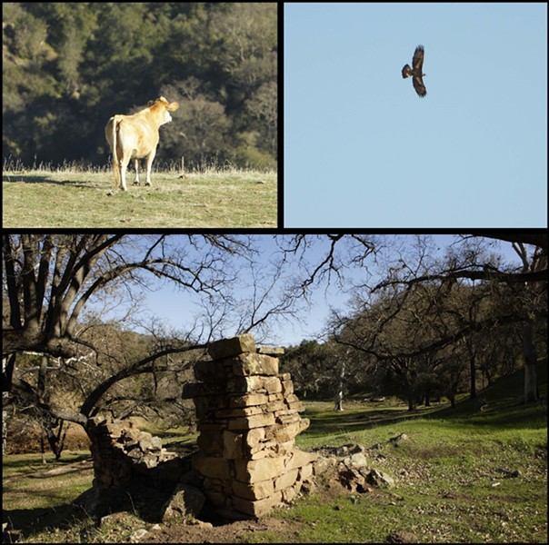 LIVING HISTORY :  Cattle, oaks, and golden eagles share space with the remnants of historic homesteaders' cabins on the 15-mile-long Avenales Ranch. - PHOTOS BY STEVE. E. MILLER
