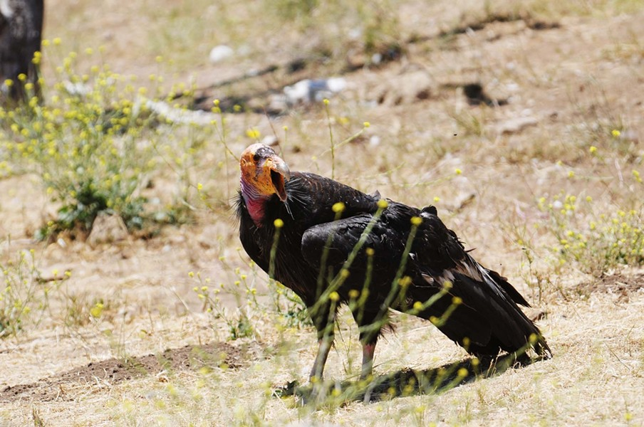 HALE :  Even while on the ground, condors look majestic. - PHOTO BY PAUL WELLMAN