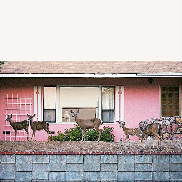 PRETTY IN PINK:  When photographer Coral Kessler pulled up to this pink house in her Paso Robles neighborhood, she was thrilled to see a total of nine doe just standing there, waiting to be immortalized. - PHOTO BY CORAL KESSLER