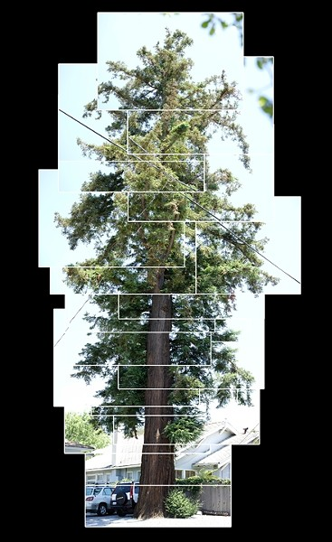 SUM OF ITS PARTS :  This Coast Redwood, shown in a photo collage, is one of the SLO City Heritage Trees. - PHOTO BY STEVE E. MILLER
