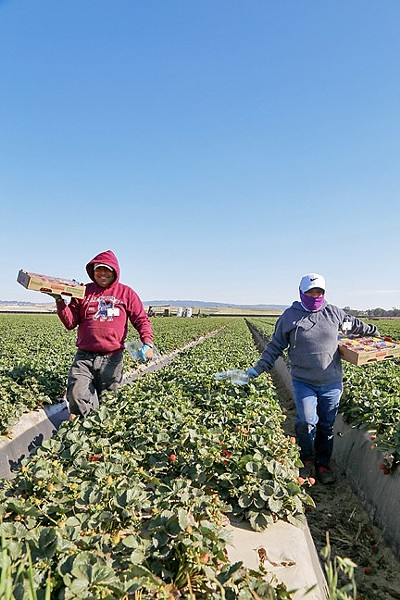 LABOR INTENSIVE:  Crops such as strawberries and leafy greens require hands to pick and sort them. Farmers dealing with what they call a local labor shortage are increasingly turning to the H-2A program to help supplement their workforce. - PHOTO BY DYLAN HONEA-BAUMANN