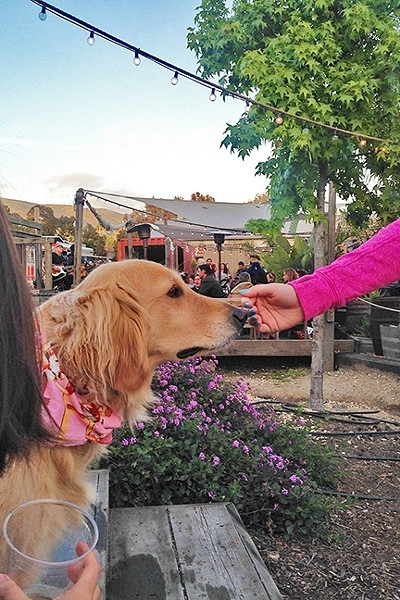 OLD SOUL:  While most dogs excitedly barked, played, and marked their territory at Puppy Love, this older golden retriever with a pink bandana moseyed quietly around the patio, smelling flowers and saying hi to the humans. - PHOTO BY PETER JOHNSON