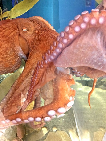 MEET JOAN This giant Pacific octopus was donated by a local fisherman and will be returned to the ocean in about a year. She's really active and is as intelligent as a 4-year-old child. - PHOTO BY GLEN STARKEY