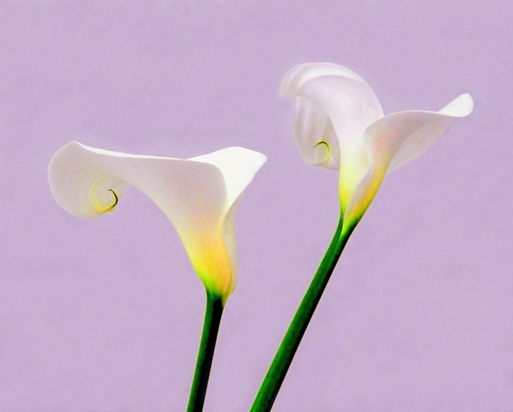 STILL LIFE Close-up shots and a light hand in Photoshop give Niley Harel's photos, such as Calla Duo, an almost otherworldly look. - PHOTO COURTESY OF NILY HAREL