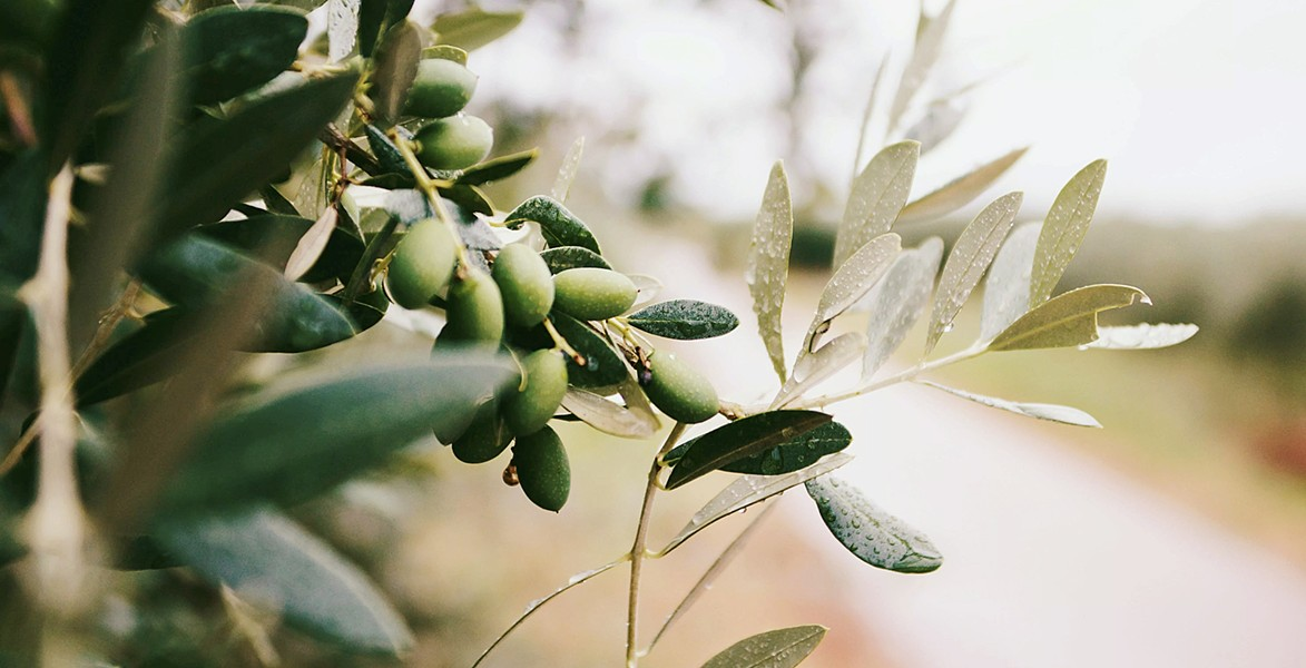 EVOO YOU KNOW? The history of Central Coast ag cannot be told without including the work of local olive farmers. - PHOTOS COURTESY OF WINE HISTORY PROJECT