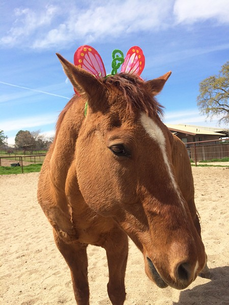 """A GENTLE CLOWN Partners in Equestrian Therapy (PET) is raising money to help with ongoing medical treatment and medication for one of its """"go to"""" horses, Chief Four Socks. - PHOTO BY COURTSEY OF PET"""