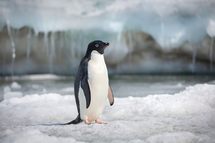 SOLO STEVE Narrated by Ed Helms, Penguins tell the story of an Adélie penguin named Steve, who's on a quest to find a mate and start a family. - PHOTO COURTESY OF DISNEYNATURE