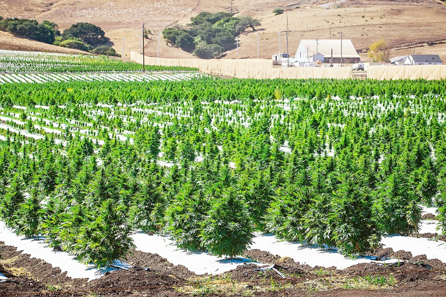 IN EFFECT SLO County's new hemp regulations are upheld for now after a judge ruled against a preliminary injunction against them on June 26. - FILE PHOTO BY JAYSON MELLOM