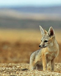 SAVING THE WILD Although the world has lost 60 percent of its wildlife in the past 40 years, conservationists believe that preserving 30 percent of wild lands by 2030 could help remaining species like the San Joaquin kit fox.