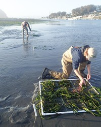 REPLANTING The Morro Bay National Estuary Program hired Tenera Environmental Inc. to support eelgrass restoration efforts in 2021. Staff transplanted eelgrass into 1-meter plots along the main tidal channel in Morro Bay, and those plots are expected to expand over time to increase eelgrass habitat.