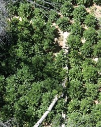 DEPARTMENT SEEING GREEN :  Members of the San Luis Obispo and Santa Barbara County Sheriff's departments teamed up to bust a large marijuana-growing operation seen here from the air near the SLO County line.