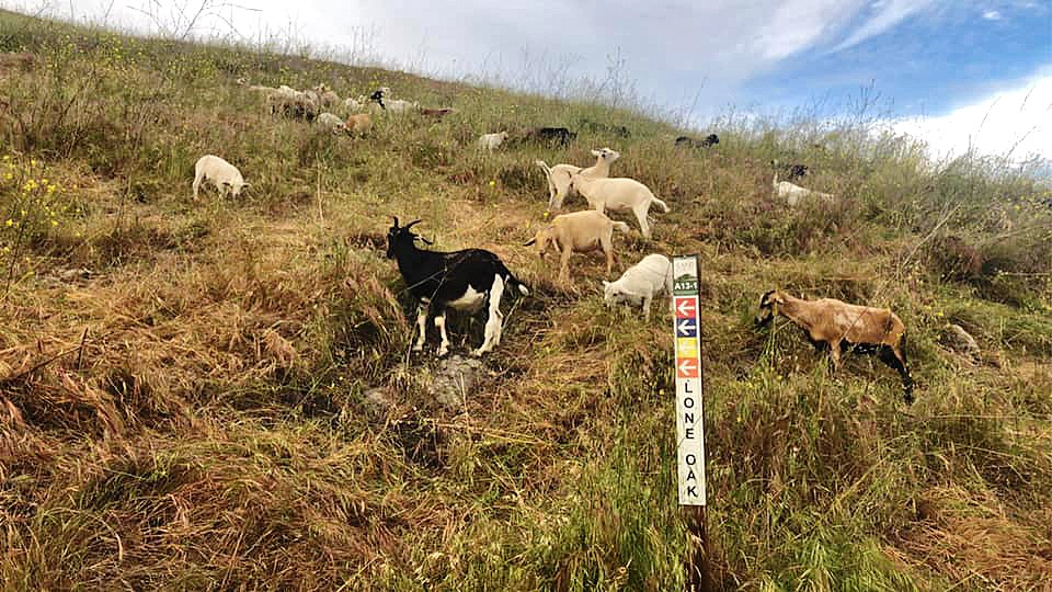CHEWING AROUND THE COUNTY The animals of the Goat Girls munched on mustard while scaling the Pismo Preserve's hillsides in May. - PHOTO COURTESY OF GOAT GIRLS