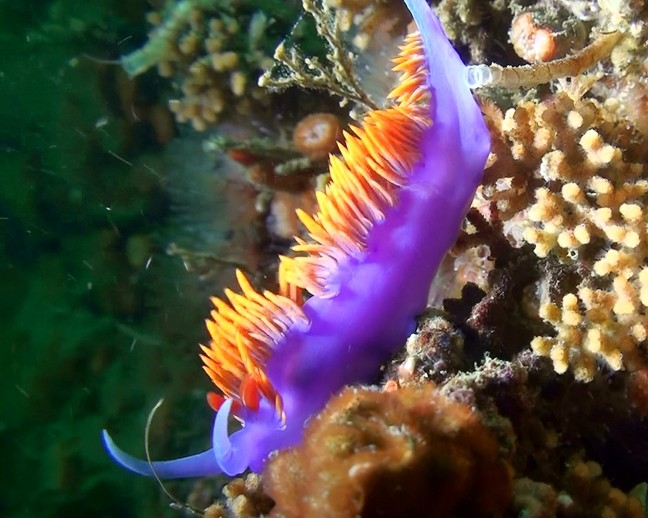 SPANISH SHAWL NUDIBRANCH: - PHOTO COURTESY OF TERRY LILLEY OF UNDERWATER2WEB.COM