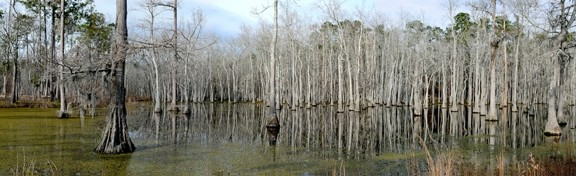 SWAMP : - PHOTO BY PEGGY JANSSON