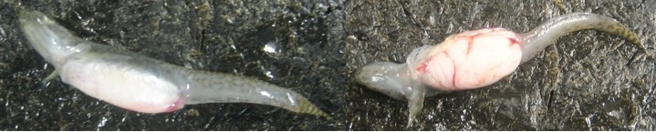 GROWING CONCERN :  Local scientists guessed last spring that tumors found in Morro Bay goby fish were caused by sewage runoff. After doing the research it turns out they're probably right. - FILE PHOTO COURTESY OF SARAH JOHNSON