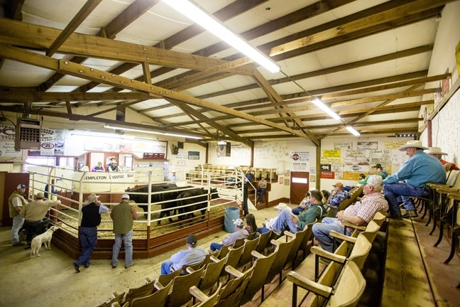 AUCTION IN ACTION:  Ranchers, order-buyers, and feedlot representatives look on during an auction at the Templeton Livestock Market in February. While the market is usually open every other Saturday, except during peak season, the market has been in full swing every week until recently as ranchers sell off swaths of their herd due to drought. - PHOTO BY TOM FALCONER