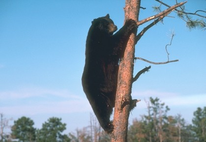 ICONS OF THE WEST :  Public comment is now being accepted on a plan to allow sport hunting of SLO County's black bears. - FILE PHOTO