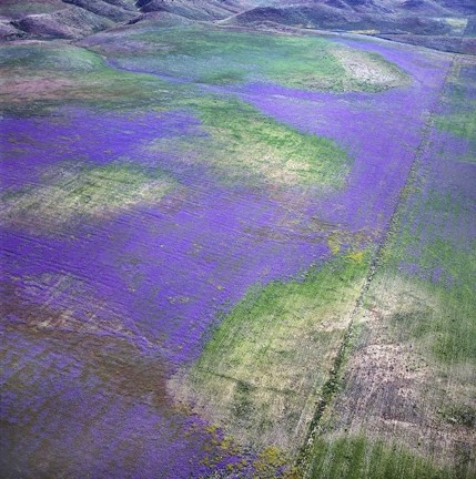 CARRIZO FLOWER CARPET: - PHOTO BY BILL DEWEY