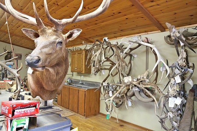 OTHER PROJECTS:  His workspace is filled with antlers, finished mounts, and skin that's waiting to become lifelike again. - PHOTO BY DYLAN HONEA-BAUMANN