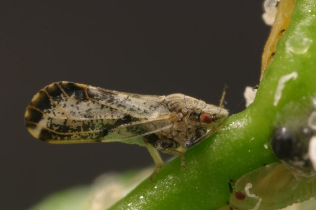 LITTLE BUG, BIG PROBLEMS:  An Asian citrus psyllid can carry the deadly disease Huanglongbing, which has already killed nearly 50 percent of citrus groves in Florida. - FILE PHOTO
