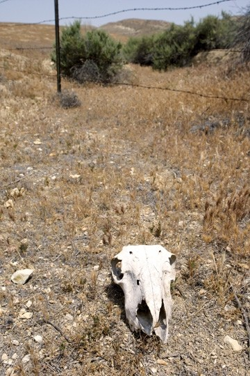 SILENCE OF THE LAMB:  Residents commonly complain that sheep carcasses are left behind, rather than removed from the pastures. - PHOTO BY STEVE E. MILLER
