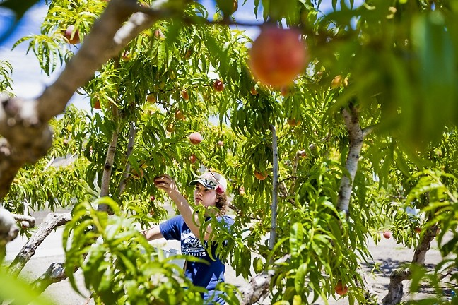'LEARN BY DOING':  The pastoral fields function as classrooms and research labs for students like Katie Ward, who want hands-on experience in areas like fruit, plant, and environmental science. - PHOTO BY KAORI FUNAHASHI