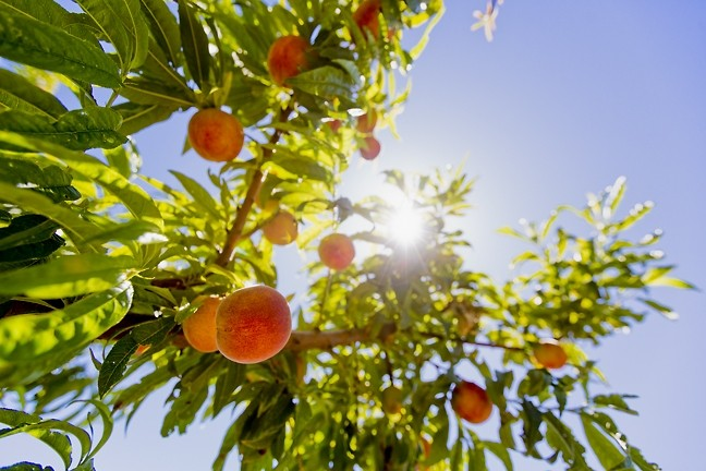 FRUIT OR FACILITIES? :  Agriculture students at Cal Poly worry that these juicy peaches could be destroyed to make room for development under the campus's updated master plan. - PHOTO BY KAORI FUNAHASHI