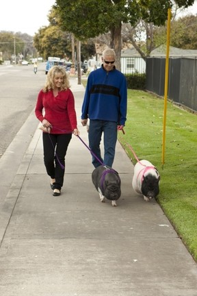 STRUTTING WITH SWINE :  Joan and Mark Perry adopted two pigs from Lil' Orphan Hammies and take them on walks around their neighborhood every day. They're only a year old and still have a lot of growing to do.