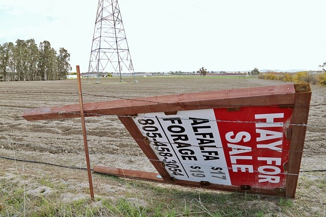 A CERTAIN SHADE OF GREEN:  Folks in the North County agricultural industry say there was a spike in alfalfa planting during a three-month gap between two ordinances restricting new irrigated agriculture plantings in the Paso Robles groundwater basin. - PHOTO BY DYLAN HONEA-BAUMANN