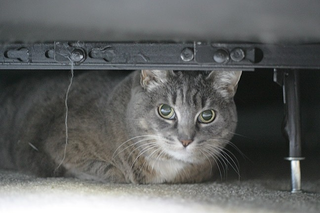 BED BOUND:  While looking for Holly, Glen Starkey found Bootsie—another of DePaulo's five cats—hiding under the bed instead. - PHOTO BY GLEN STARKEY