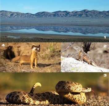 CARRIZO SAMPLER :  (Clockwise from top) Soda Lake reflects, a blunt-nosed leopard lizard flexes, a rattlesnake coils, and a weasel watches. - PHOTOS BY FRIENDS OF CARRIZO PLAINS