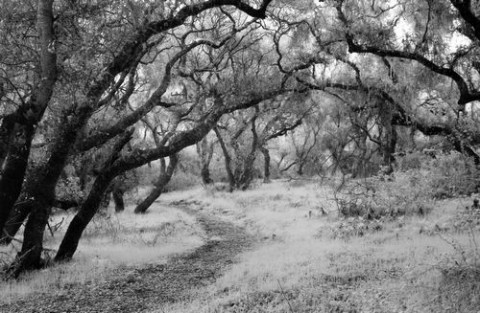"""LOS OSOS OAKS� HONORABLE MENTION LAND/SEASCAPE BW: - BOB WILKINSON"