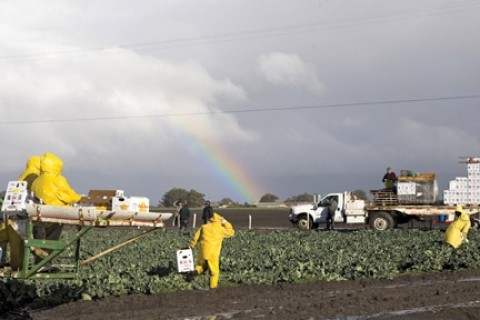 AFTER THE RAINS :  Workers returned to the fields outside Guadalupe after heavy rains pounded the Central Coast. Will the rains make a difference for local agriculture?