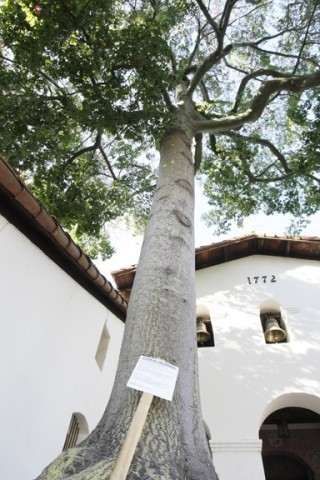 DEATH AND LIFE :  A recent vote by San Luis Obispo's tree committee condemned the silk floss tree in Mission Plaza to destruction--but its spirit will live on through its progeny. - PHOTO BY STEVE E. MILLER