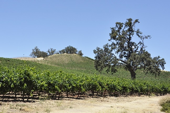 OAKS VS. VINES:  The SLO County Supervisors passed an interim urgency ordinance to protect oak trees after Justin Vineyards and Winery clear-cut thousands of oak trees to make way for a vineyard. - PHOTO BY CAMILLIA LANHAM